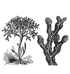 irish moss engraving vector image