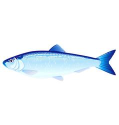 atlantic herring fish vector image