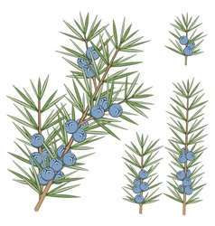 Set of juniper branches vector image vector image