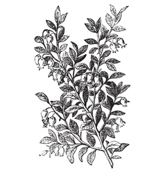 Bilberry whortleberry engraving vector