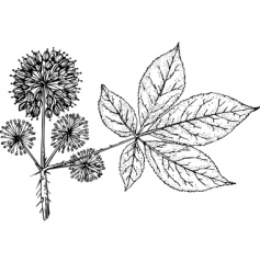 eleutherococcus vector image