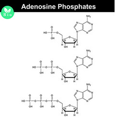 ATP ADP and AMP chemical structures vector image