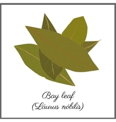 Bay leaves isolated on white top view vector