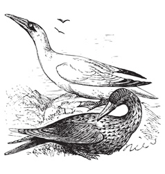 Northern gannets engraving vector