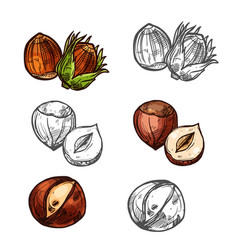 hazelnut nuts sketch icons vector image