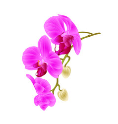 beautiful orchid purple phalaenopsis stem vector image vector image