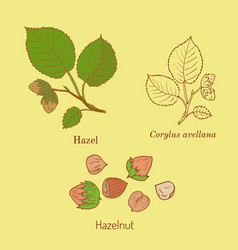 hand drawn hazelnut branch vector image vector image