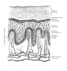 Vertical section of epidermis vintage vector