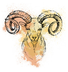 Sketch by pen of a mountain goat head on a vector