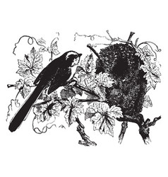 Long tailed titmouse vintage vector