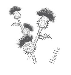 Thistle painted with hand vector
