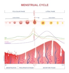 Scheme of the menstrual cycle vector