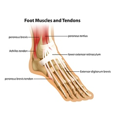 Foot muscles and tendons vector