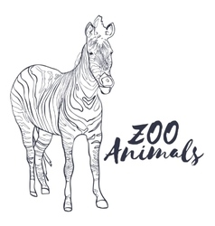 Hand drawn isolated sketch zebra zoo animal vector