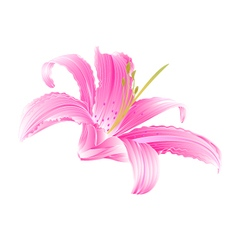 Spring flower pink lily daylily vector