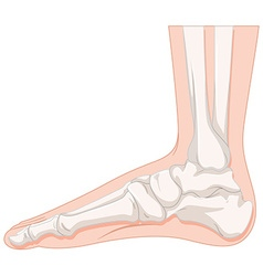 Foot bone of human vector image