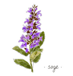 Wild plant sage hand drawn in color vector