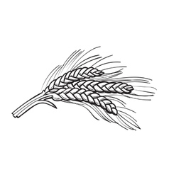 Hand drawn bunch of malt barley ears vector