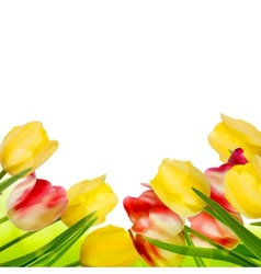 Fresh tulips isolated on white eps 10 vector