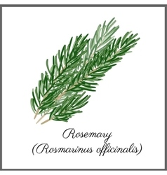 Rosemary isolated on white top view vector