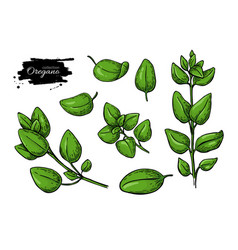 Oregano drawing isolated herb plant branch vector