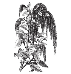 Foxtail amaranth vintage engraving vector