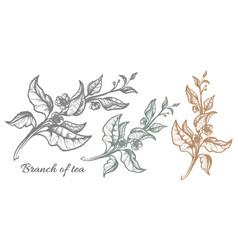 Branch tea touch vector