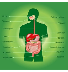 The human digestive system vector image