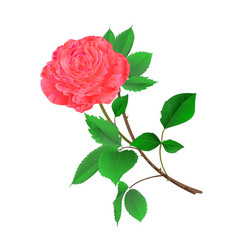 Pink rose flower twig with leaves vector