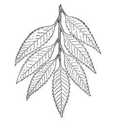 Chestnut branch vintage vector