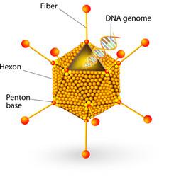 Structure of adenovirus vector image