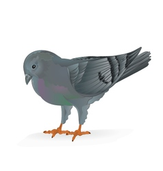Breeding bird carrier pigeon domestic sports bird vector