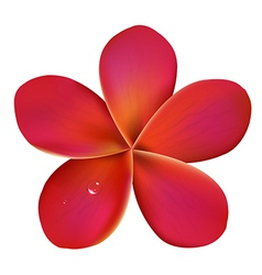 Pink frangipani with water drops vector