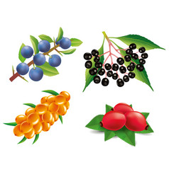 Group of sea buckthorn rose hip black elderberry vector