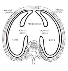 Arrangement of the pleural sacs vintage vector