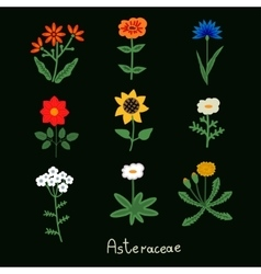 Asteraceae flowers set vector