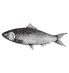 Atlantic Shad engraving vector image