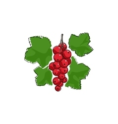 Redcurrant isolated on white vector