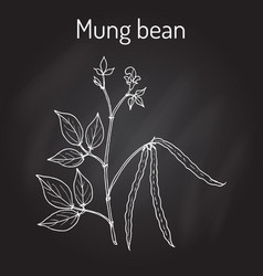 Mung bean vigna radiata with leaves and pods vector