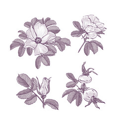 Wild rose isolated dog-rose drawing flowers vector