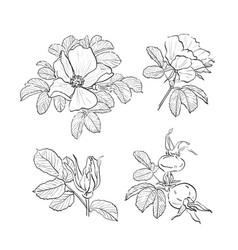 Dog-rose drawing flowers hand-drawn wild rose vector