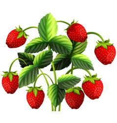 Strawberry plant with red strawberries vector