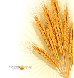 Background with gold ears of wheat vector