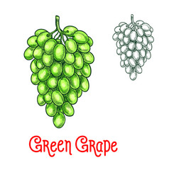 green grape sketch isolated fruit berry vector image