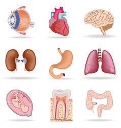 human organs vector image vector image