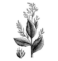 Wormseed goosefoot engraving vector