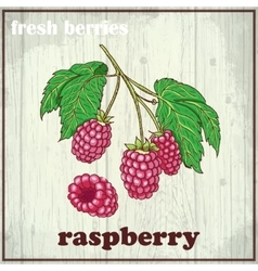 Hand drawing of raspberry fresh vector