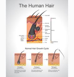 Human hair infographic structure vector