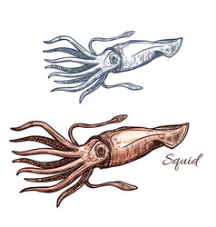 Squid marine animal sketch for seafood design vector