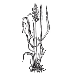 Sweet vernal grass engraving vector